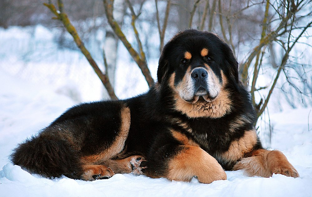 Tibetan Mastiff- The Best Guard