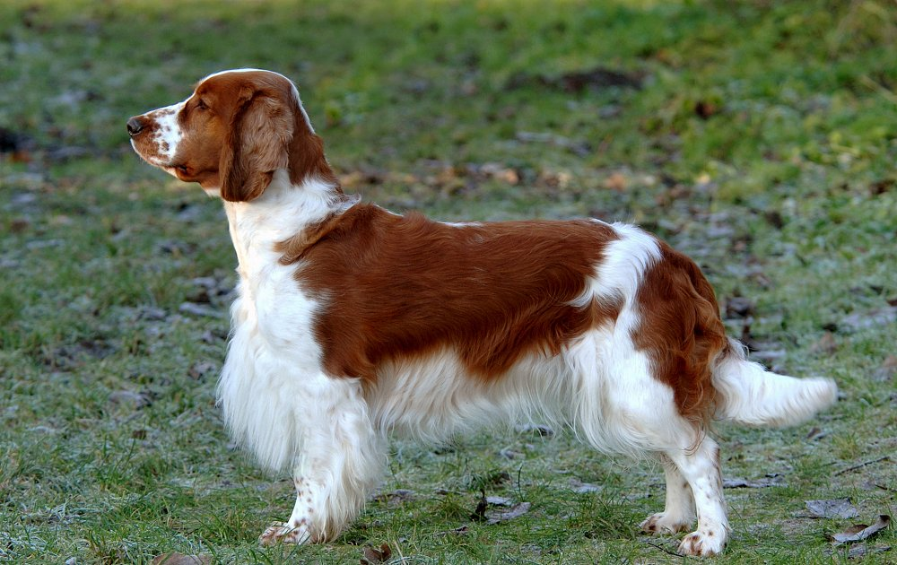 Pictures Of Springer Spaniel Dogs