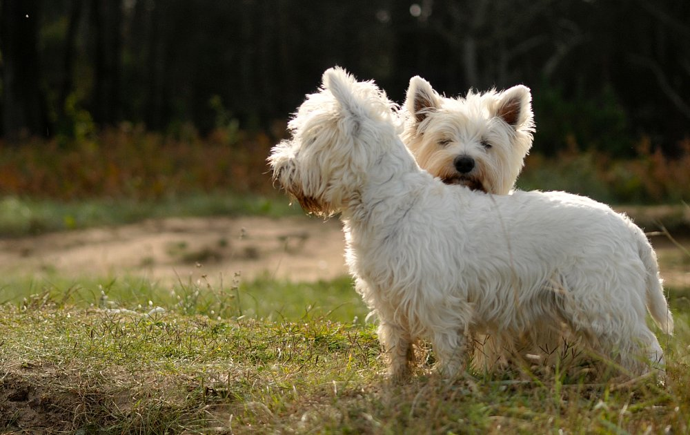 Pictures Of West Highland White Terrier Dogs