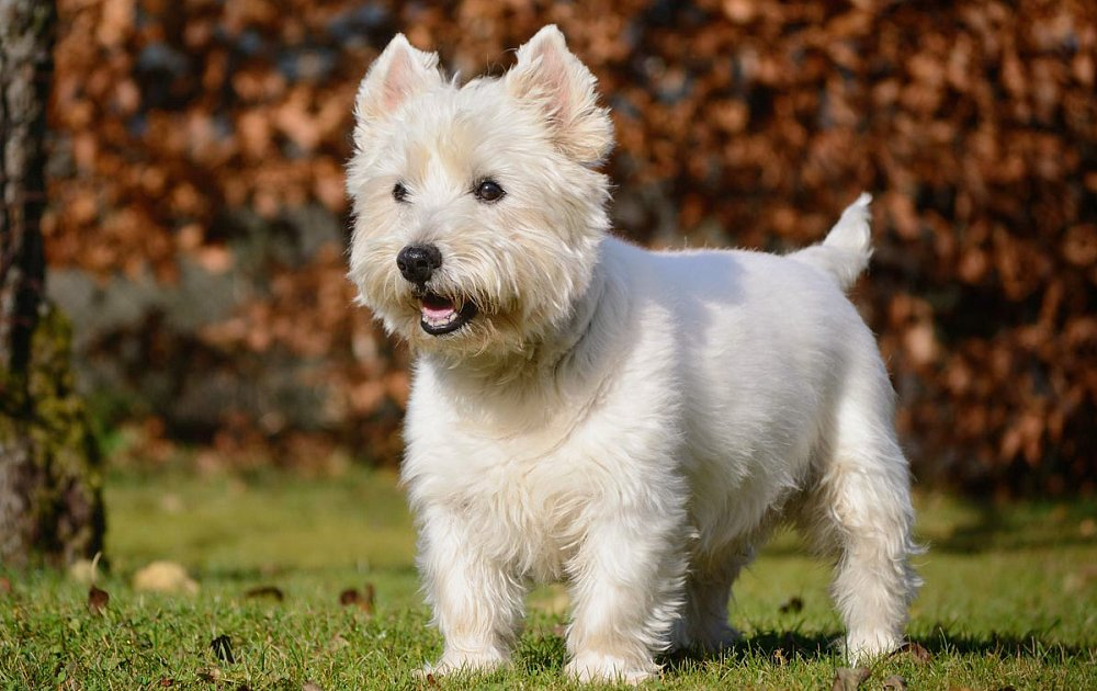 West Highland White Terrier Dog Breeds - Dog Breed