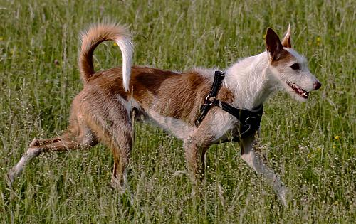 Wirehaired Ibizan Hound