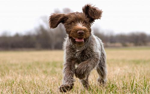 Wirehaired Griffon Pointer | Goldenacresdogs.com